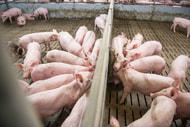 Jeder dritte Schweinemäster plant Produktionsaufgabe