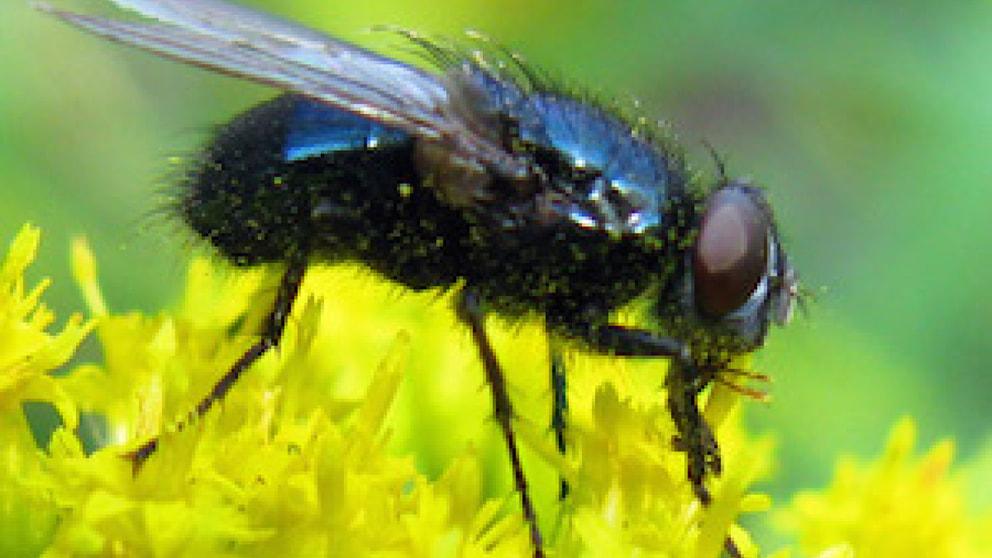 welche fliegen werden l stig tiere frage und antwort wochenblatt f r landwirtschaft. Black Bedroom Furniture Sets. Home Design Ideas