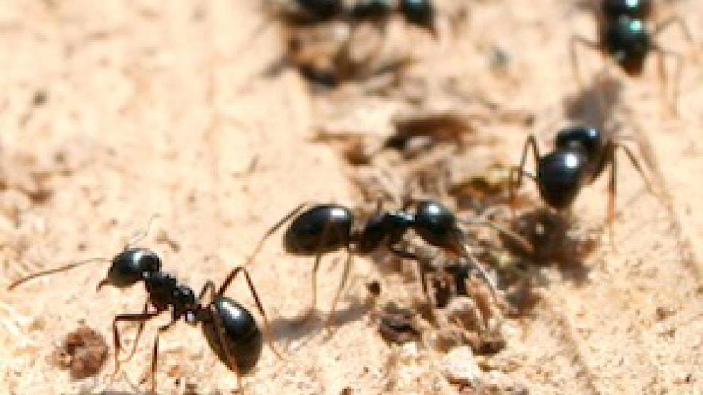 Ameisen in der isolierung tiere frage und antwort wochenblatt f r landwirtschaft landleben - Ameisen in der wand ...