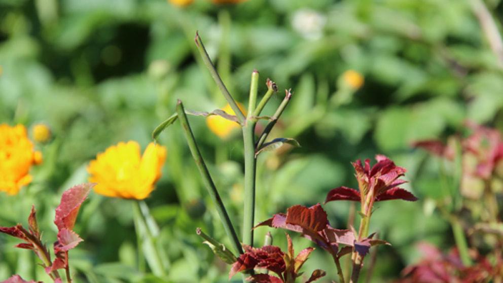 rehe fressen rosen wald jagd natur frage und antwort wochenblatt f r landwirtschaft. Black Bedroom Furniture Sets. Home Design Ideas